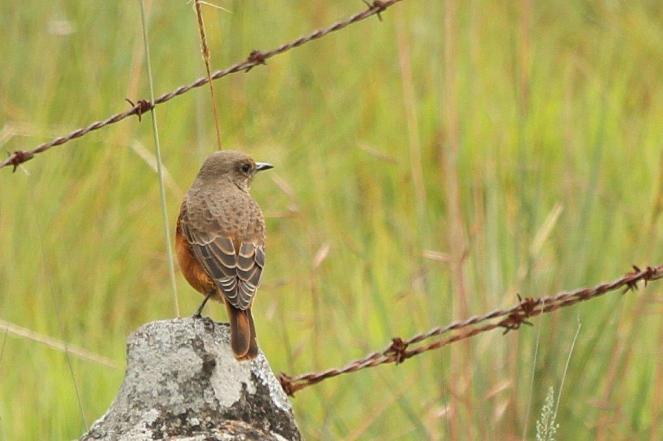 Female Cape Rock-Thrush