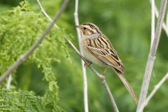 Clay-coloured Sparrow
