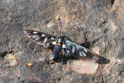Cool Maiden Moth