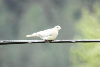 Eurasian Collared-Dove - leucistic