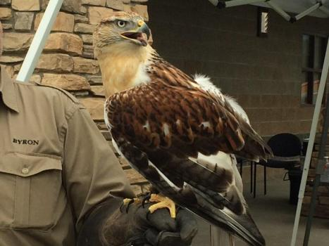 Ferruginous Hawk in rehab