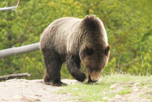 Grizzly Bear - came within 40 metres of us then disappeared