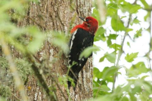 Red-breasted Sapsucker - Eugene
