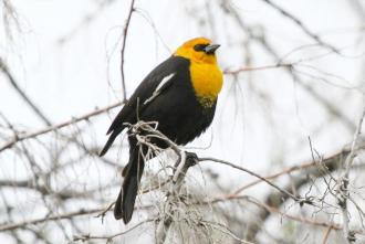 Yellow-headed Blackbird - male