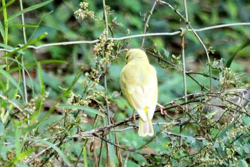 Partially leucistic Yellow-fronted Canary (Crithagra mozambicus) - PB
