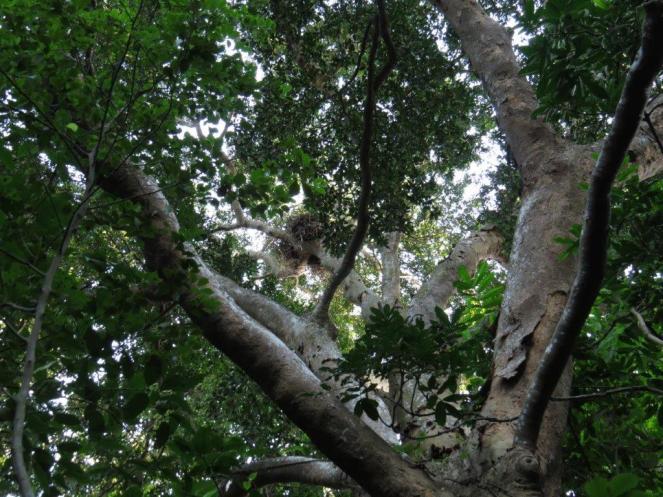 Black Sparrowhawk Nest - Sally Bartho