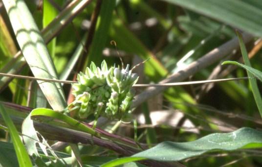 Flower Mantis - John Bremner