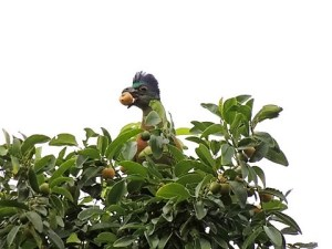 PURPLE-CRESTED TURACO FEASTING ON CHAETACME ARISTATA FRUIT