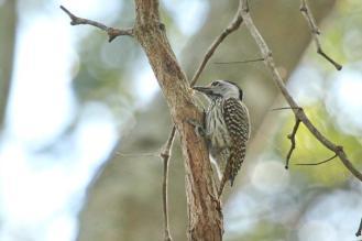 Cardinal Woodpecker - female with food - PB