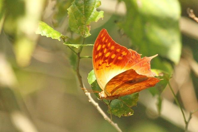 Pearl Charaxes or Pearl Emperor (old name) - PB