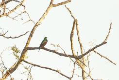 Marico Sunbird - male