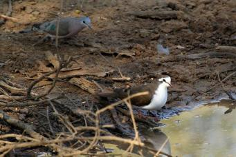 Tambourine Dove and Emerald-spotted Wood-Dove