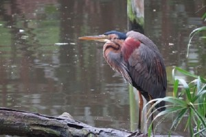 Purple Heron all dressed up to impress