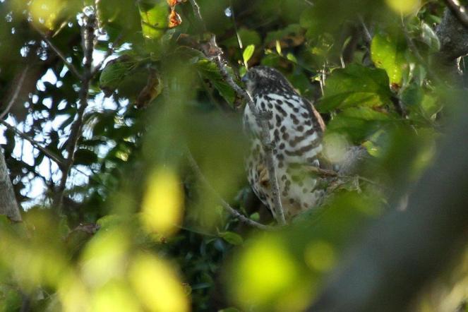 African Goshawk - juvenile - PB
