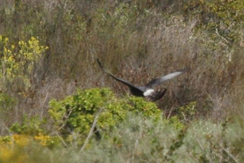 Black Harrier (in the distance)