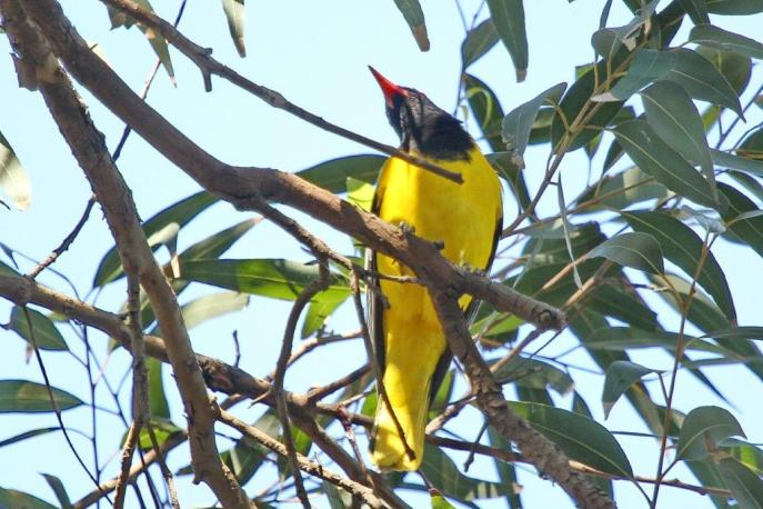 Black-headed Oriole - PB