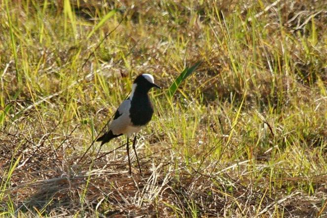Blacksmith Lapwing - PB