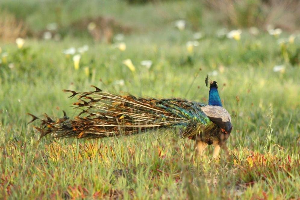 Common Peacock