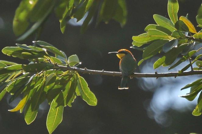Little Bee-eater - PB