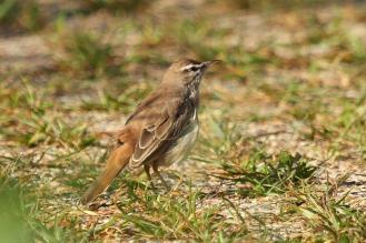 Rufous-tailed Scrub-Robin