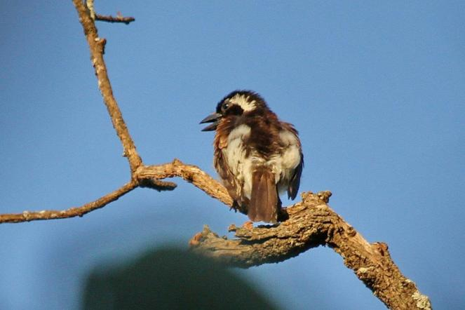 White-eared Barbet - PB