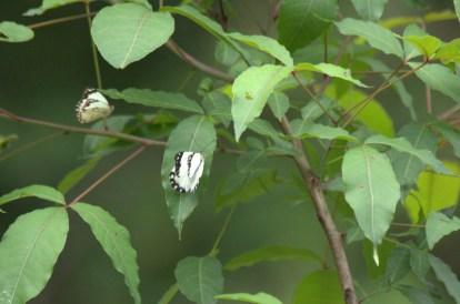 African Common White -John Bremner