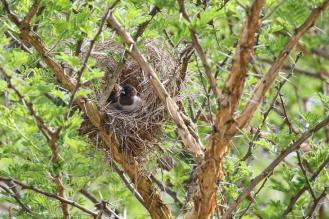 Bronze Mannikins in their nest