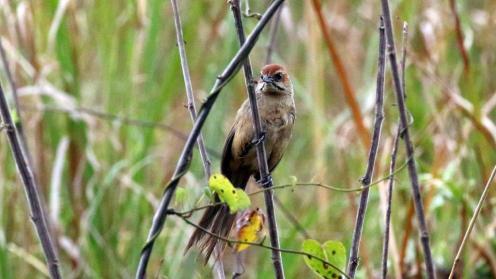 Cape Grassbird - Mike Jackson