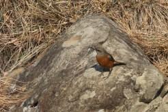 Cape Rock-Thrush - female