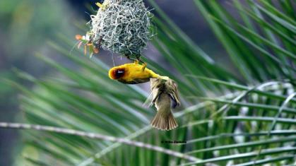 Cape Weaver being henpecked - Mike Jackson