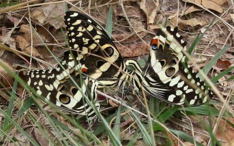 Citrus Swallowtails - Mike Jackson