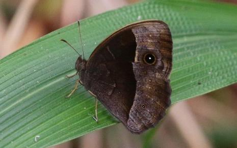 Common Bush Brown - Mike Jackson