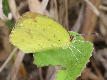 Angled Grass Yellow - Mike Jackson