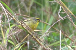 Yellow-fronted Canary -John Bremner