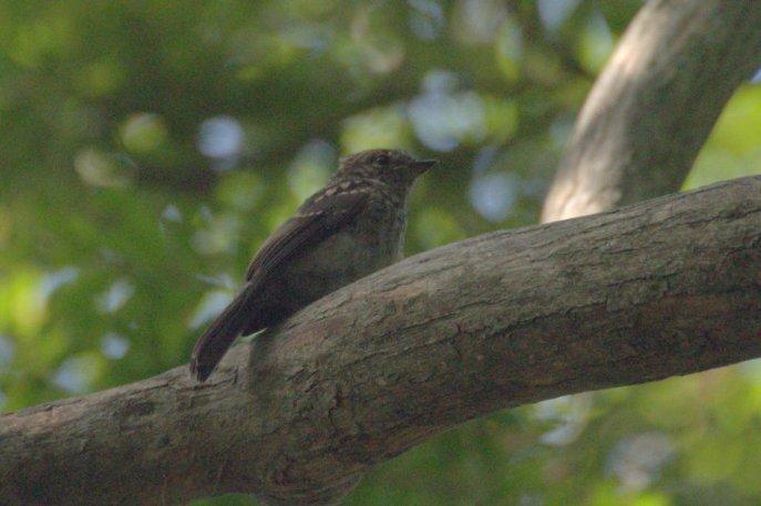 Juvenile Dusky Flycatcher
