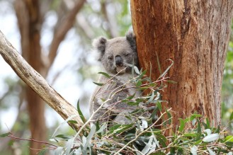 Koala having a peek
