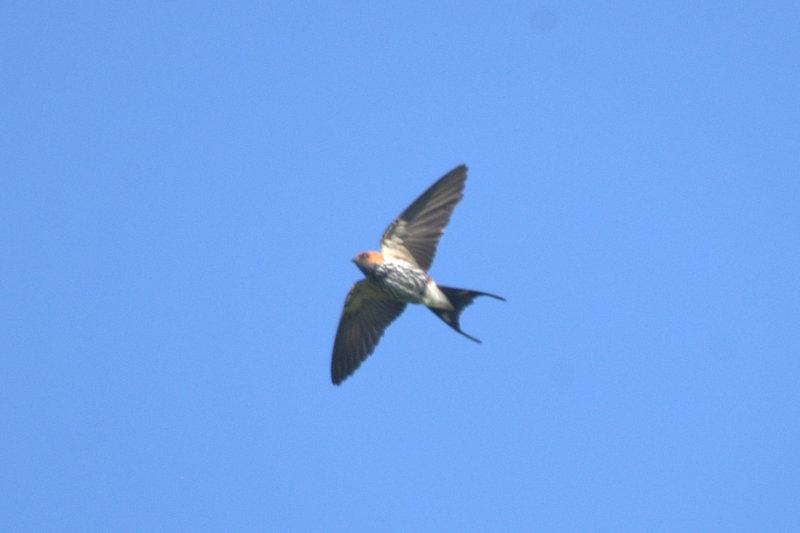 Lesser Striped Swallow - John