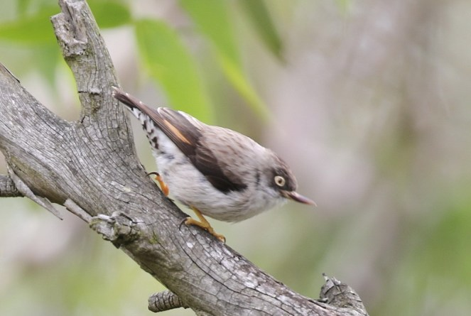 Varied Sitella