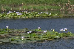 Waterlilies on the dam