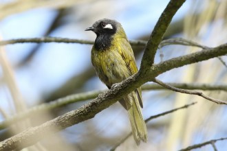 White-eared Honeyeater