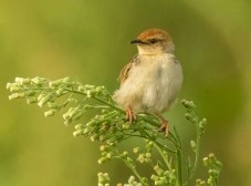 Levaillants Cisticola (Tony Bevis)