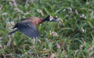 White-faced Whistling Duck (Ryan Ramsamy)