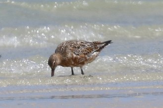 Bar-tailed Godwit in partial breeding plumage