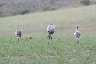Blue Crane with 2 juveniles