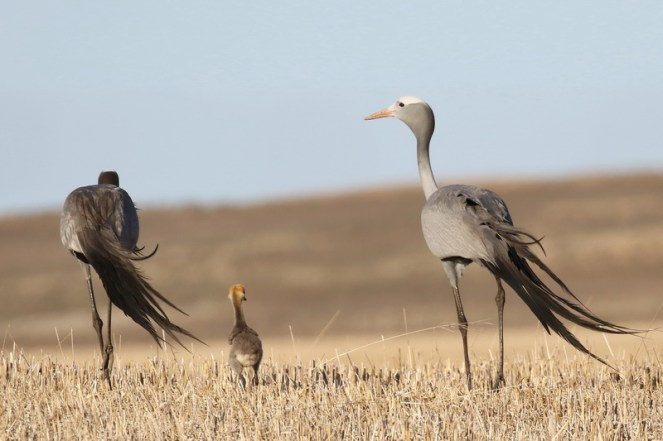 Blue Cranes and chick