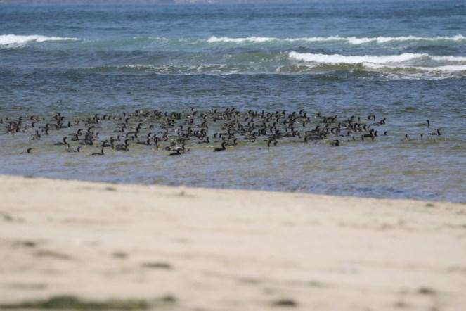 Cape Cormorants - a small group