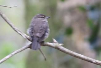 Dusky Flycatcher