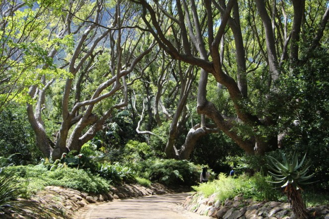 Kirstenbosch - an avenue