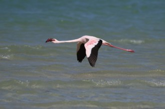 Lesser Flamingo getting into flight mode - yes, in the air