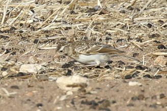 Large-billed Lark - juvenile